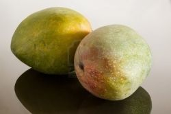 14946095-two-whole-round-mangoes-or-mango-on-reflecting-glass-surface-with-gradient