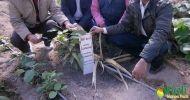 কুয়েতের মরুভুমিতে বাংলাদেশের আম গাছ 'বিমান'